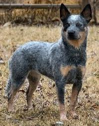 stop blue heeler shedding australian cattle dogs what s about em what s bad about em