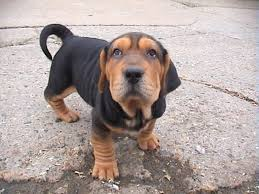 Do Shar Pei Lab Mix Shed by 10 Heart Melting Basset Hound Mix Breeds To Aww Over