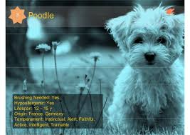 Terriers That Dont Shed by 8 Dog Breeds That Don U0027t Shed