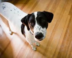 Dog Urine Wood Floors Vinegar by What To Do About Dog Urine On Your Hardwood Floors The Dogington