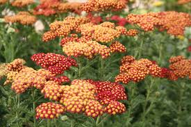 Flowers For Flower Beds by Fafardflowers For Honey Bees