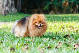 Pumpkin For Dog Constipation by In Dogs Symptoms Causes Diagnosis Treatment Recovery