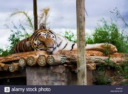 Save The Tiger Stock Photos & Save The Tiger Stock Images - Alamy 45 Tiger Truck Stop Trucker Jims Truckin Journey Youtube The Is Here To Stay Vice Kept At Iberville Parish Truck Stop Dies Tony The Update Owner Plans Pursue Another Tiger Stuff For Free Jobyronkuhnercom Kept At For 17 Years Dies But Legal Battle Isn September 28 2015 2 Louisiana Cdllife Abandoned Sign Along I2 Flickr