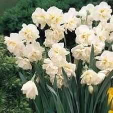 Sir Winston Churchill Daffodil Multi flower per stem and double head