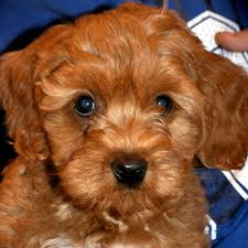 No Shed Small Dogs by Non Shedding Dogs Ashford Manor Labradoodles