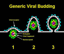 Viral Shedding Herpes Zoster by Viral Shedding Wikipedia