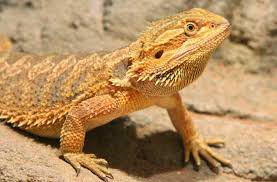 Bearded Dragon Heat Lamp Times by Safe Lighting For A Bearded Dragon Arcadia Reptile