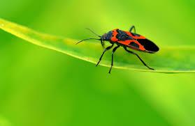 Milkweed Bug Information – Are Milkweed Bugs Harmful
