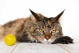 Do Maine Coons Shed In The Summer by Cat Dandruff Is It Something To Worry About Catster