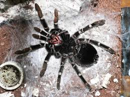 Do Tarantulas Shed Their Fangs by How Do I Know If My Tarantula Is Going To Moult Keeping Exotic Pets