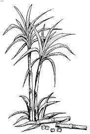 Sugar Cane Clipart Black And White