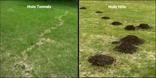 Our Tips For Mole Control And Damage | RLM Inc. How To Get Rid Of Moles Organic Gardening Blog Cat Captures Mole In My Neighbors Backyard Youtube Animal Wikipedia Identify And In The Garden Or Yard Daily Home Renovation Tips Vs The Part 1 Damaging Our Lawn When Are Most Active Dec 2017 Uerstanding Their Behavior Mole Gassing Pests Get Correct Remedy Liftyles Sonic Molechaser Alinum Covers 11250 Sq Ft Model 7900
