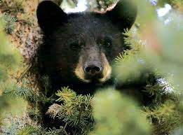 Colorado Springs Christmas Tree Permit 2014 by Colorado May Euthanize More Bears And Lions To Try To Boost