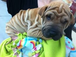 Do Shar Peis Shed Hair by Shar Pei The Complete Owners Guide To The Shar Pei Breed Of Dog