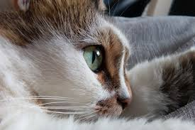 cat runny nose respiratory infection in cats