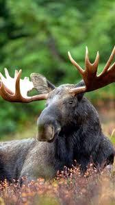 Moose Shed Antler Forums by 218 Best Reh Hirsch Elch Rentier Deer Moose Reindeer Images
