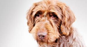 Do Hungarian Wirehaired Vizslas Shed by Wirehaired Pointing Griffon Dog Breed Information American
