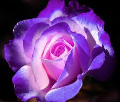 Purple Rose Image HD