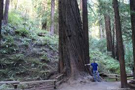 Fraser Fir Christmas Trees Kent by California U0027s Giant Redwood Trees Phillip U0027s Natural World