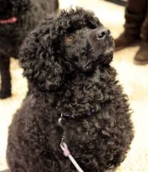 Portuguese Water Dog Non Shedding by Portuguese Water Dogs Portuguese Water Dog Information U0026 Facts