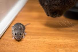 100 Mouse Apartment New York City Mice Here Are The Bacteria And Viruses That They Carry
