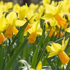 narcissus cyclamineus jetfire daffodils and bulbs