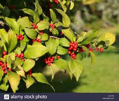 Winterberry Christmas Tree by Winterberry Holly Stock Photos U0026 Winterberry Holly Stock Images