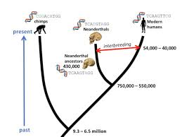 molecular clocks are refining human evolution s timeline