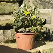 Christmas Tree Saplings Ireland by Plants For Presents Send Trees U0026 Plants From Tree2mydoor