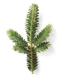 Fraser Fir Christmas Trees Care by A Christmas Tree Glossary Martha Stewart
