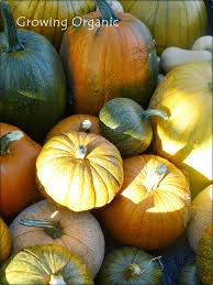 Types Of Pumpkins For Baking by Growing Organic Pie Pumpkins Or Sugar Pumpkins