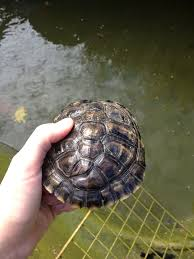 Snapping Turtle Shell Shedding by Questions About Ybs Shells Big Pond Turtle Forum