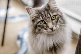 cat cat and kitten flea treatment advice how to get rid of cat fleas