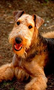 Airedale Terrier Non Shedding by 1307 Best Airedales Images On Pinterest Airedale Terrier