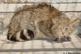 mountain cat mountain cat felis bieti felis silvestris bieti