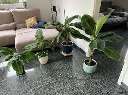 bananenbaum pflanze garten möbel gebraucht kaufen in bayern
