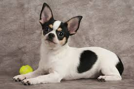 Best Mini Dogs That Dont Shed by 20 Worst Dogs For Small Children U2013 Dog Show
