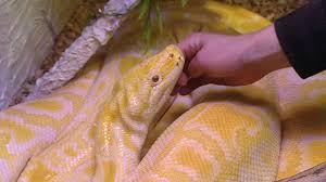 wildes wohnzimmer showtime für wohnzimmer pythons