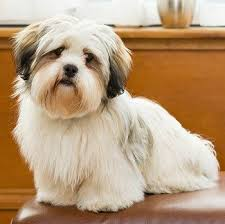 My Lhasa Apso Is Shedding Hair by Lhasa Apso Are My Favorite Dogs U003d Lhasa Apso Pinterest