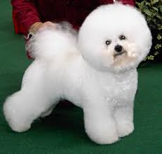 Large Non Shedding Dogs Pictures by Best Hypoallergenic Dogs Dog Pet Photos Gallery Gj27eoeb8r