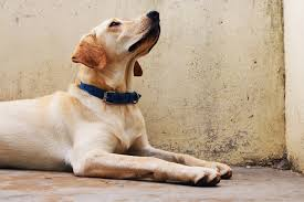 Why Do Puggles Shed So Much by Relaxmydog I Music Specially Designed To Help Relax Your Dog