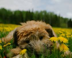 Do Irish Wheaten Terriers Shed by 20 Dogs That Don U0027t Shed Much Hypoallergenic Dog Breeds