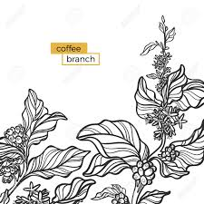 Template Of Black Branch Coffee Tree With Leaves And Natural Beans Organic Product