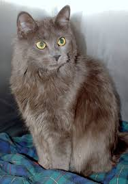 haired cats grey hair cat breeds gray cat cortney koby kittens