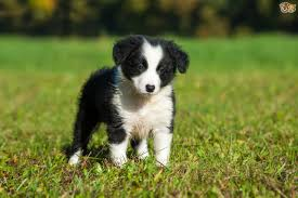 Non Shedding Husky Cross by Border Collie Dog Breed Information Buying Advice Photos And