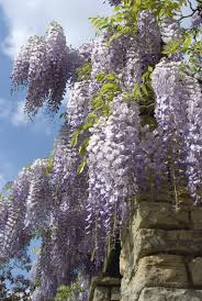 planting wisteria in a pot container grown wisteria guide to growing wisteria in pots