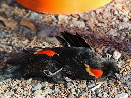 Pictures: Birds Fall From Sky In Arkansas National Geographic Backyard Guide To The Birds Of North America Field Manakins Photo Gallery Pictures More From Insects And Spiders Twoinone Bird Feeder Store Birds Society Michigan Mel Baughman Blue Jay Picture Desktop Wallpaper Free Wallpapers Pocket The Backyard Naturalist 2017 Cave Wall Calendar