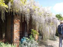 planting wisteria in a pot pergola design magnificent wisteria growing conditions can you