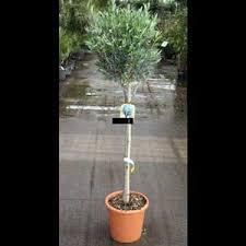 olivier tige plante hauteur 120 140 cm pot de 15l mon