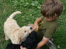 Non Shedding Large Dogs by Non Shedding Hypo Allergenic Multi Generation Black Goldendoodle